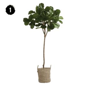 Six Foot Fiddle Fig Tree